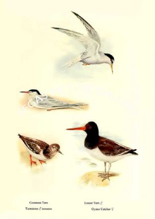 Common Tern, Turnstone, Lesser Tern & Oyster Catcher
